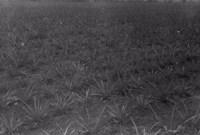 Plantação de abacaxi no Lugarejo de Umari em Bananeira (PB)