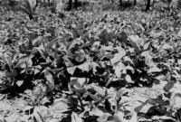 Plantação de Araruta em Cabo de Santo Agostinho (PE)
