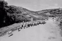 Carneiros na estrada no Distrito de Mimoso em Pesqueira (PE)