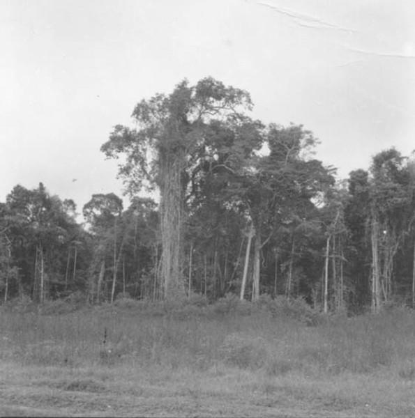 Mata de troncos finos e cipós, sub-bosque fechado entre a colônia Japim e o Rio Moa (AC) - 1974