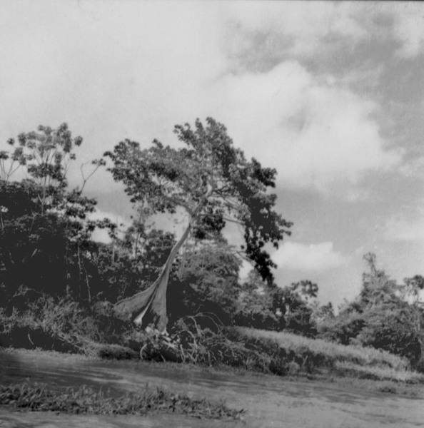 Sapopemba, árvore caída no Rio Amazonas (AM) - fev.1965
