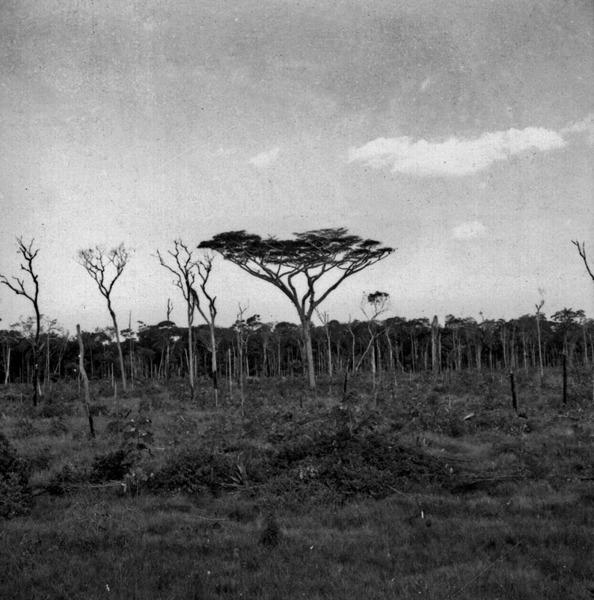 Especime de visgueira ou faveira de bolota (parkia pendula) em mata devastada a 15Km ao sul de Humaitá (AM) - s.d.