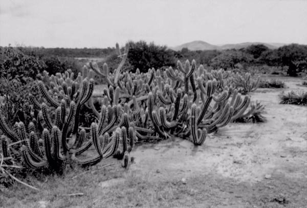 Xique - xique e caatinga : Município de Itatim - 1957