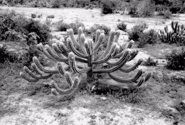 Xique - xique : Município de Itatim - 1957