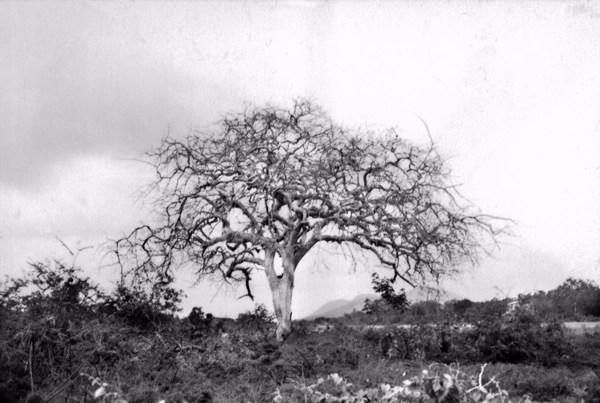 Caatinga em Jaguarari (BA) - 1957