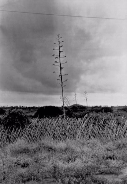 Plantação em Canudos (BA) - 1957