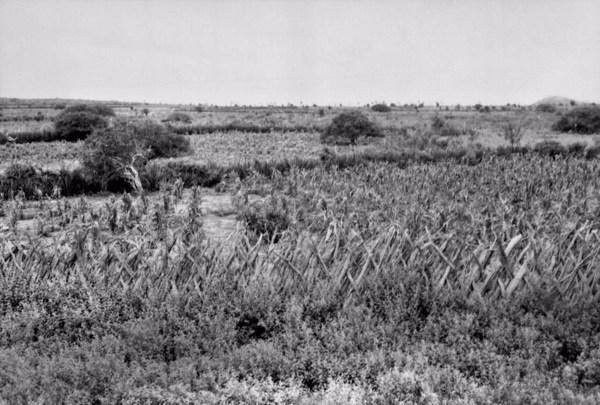 Plantações em Canudos (BA) - 1957