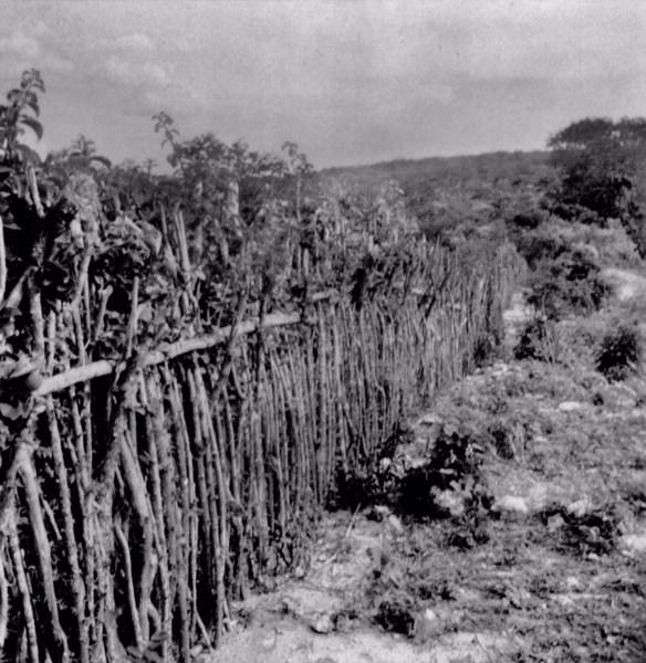 Cerca viva no Povoado de Patos em Santo Estevão (BA) - fev. 1962