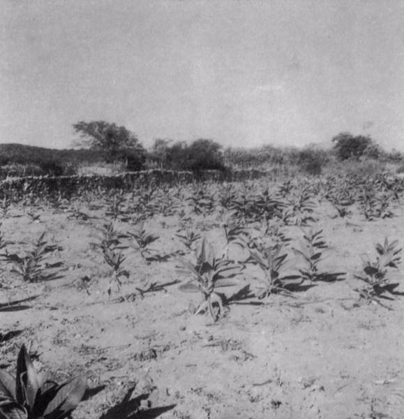 Plantação de fumo em Santa Cruz Cabrália (BA) - fev. 1962
