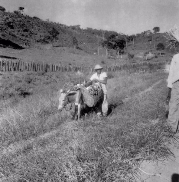 Burro carregando bananas em Utinga (BA) - 1962