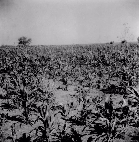 Plantações em Irecê (BA) - 1962
