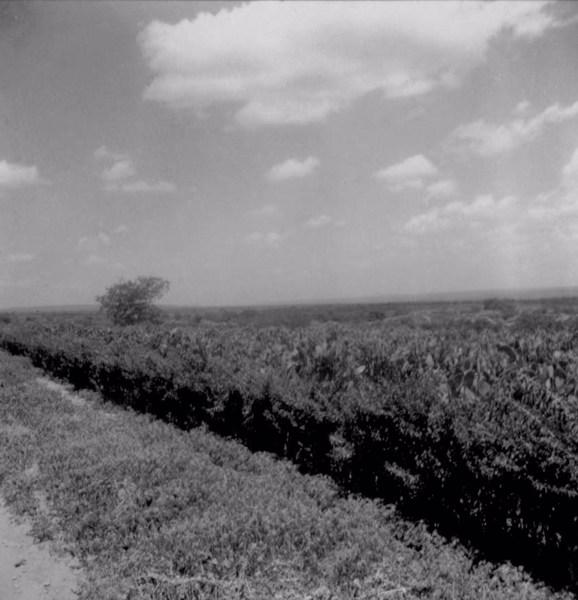 Plantação de palma forrageira em Irecê (BA) - 1962