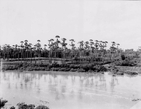 Carnaubal na margem do Riacho Seco em Limoeiro do Norte (CE) - maio. 1952