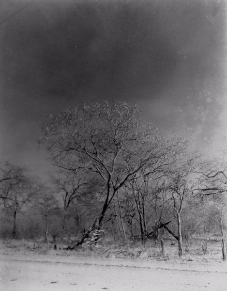 Angico com mandacarú seco em Barbalha (CE) - 1952