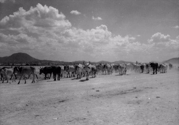 Boiada em Irauçuba (CE) - 1957