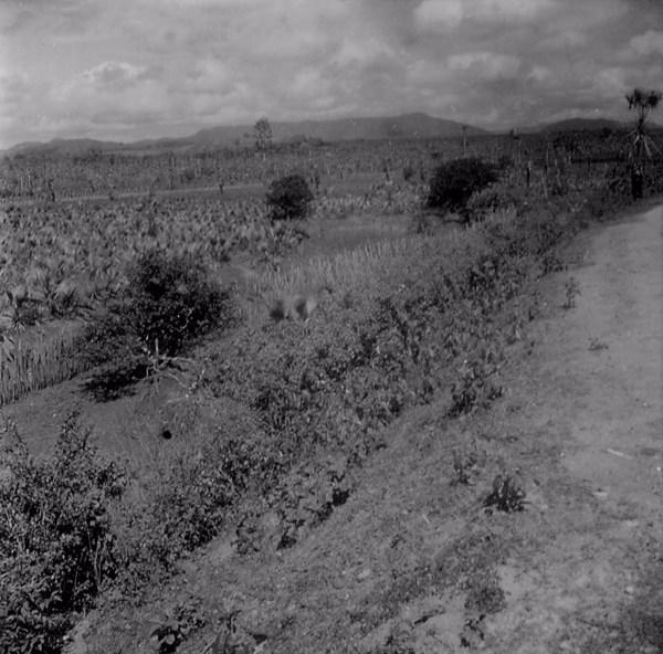 Plantação de carnaúba em Aquiraz (CE) - maio. 1962