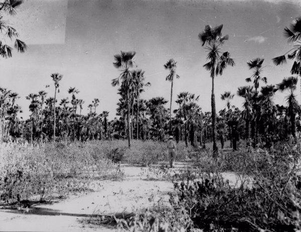 Carnaubal denso entre os municípiosde Russas e Jaguaruana (CE) - 1952