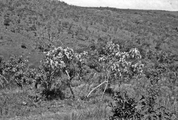Árvore do cerrado : município de Anápolis : Goiás (GO) - 1957