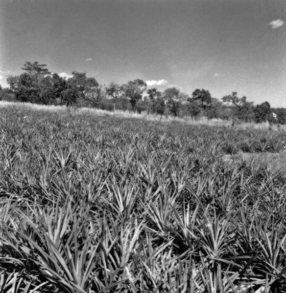 Plantação de abacaxi perto de Goiânia : Goiás (GO) - 1968