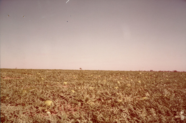 Produção de melancia em Uruana (GO) - s.d.