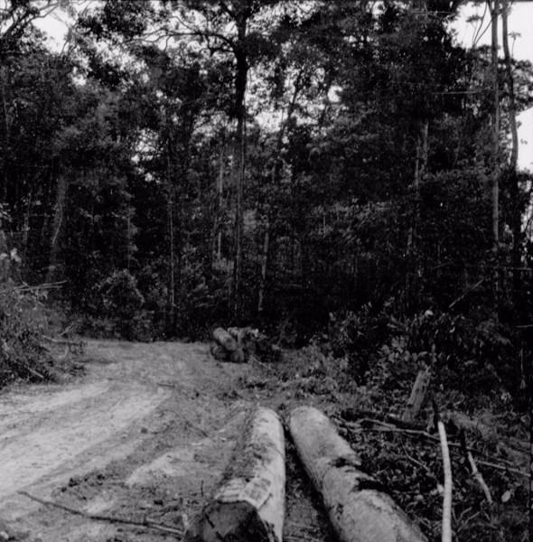 Derrubada de toras de maçaranduba em Nova Olinda do Maranhão (MA) - s.d.