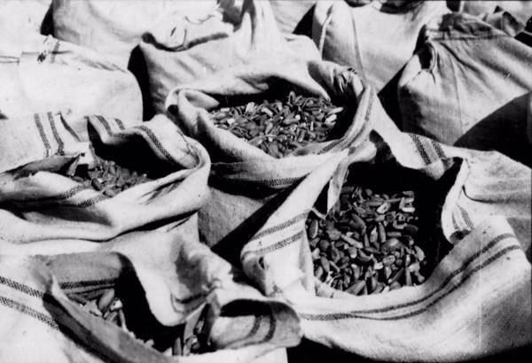 Sementes de babaçu em Caxias (MA) - 1957