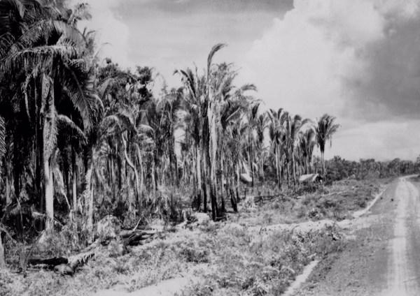 Vegetação na margem da estrada que liga Codó a São Luís (MA) - 1957