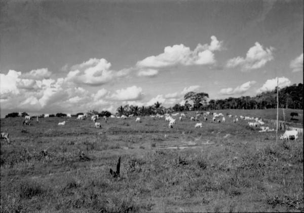 Gado pastando em Governador Valadares (MG) - 1957
