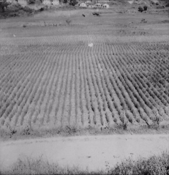 Várzea cultivada com arroz (MG) - 1958