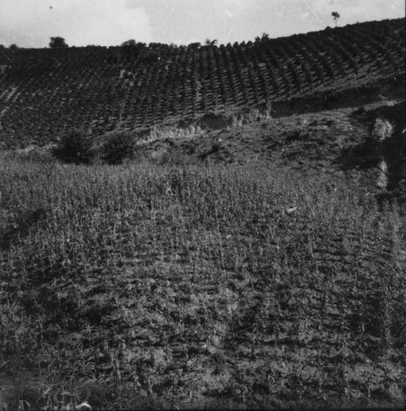Plantação de café em Viçosa (MG) - s.d