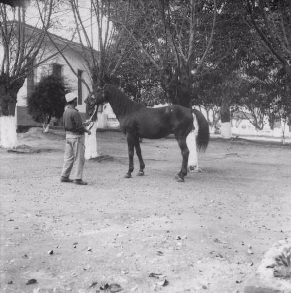 Cavalo de raça inglesa em Pouso Alegre (MG) - s.d