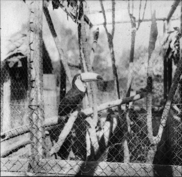 Tucano na fazenda Bicanca em Matozinhos (MG) - s.d.