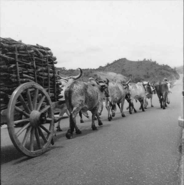 Carregamento de lenha em carro de boi na estrada em Itaúna (MG) - 1967