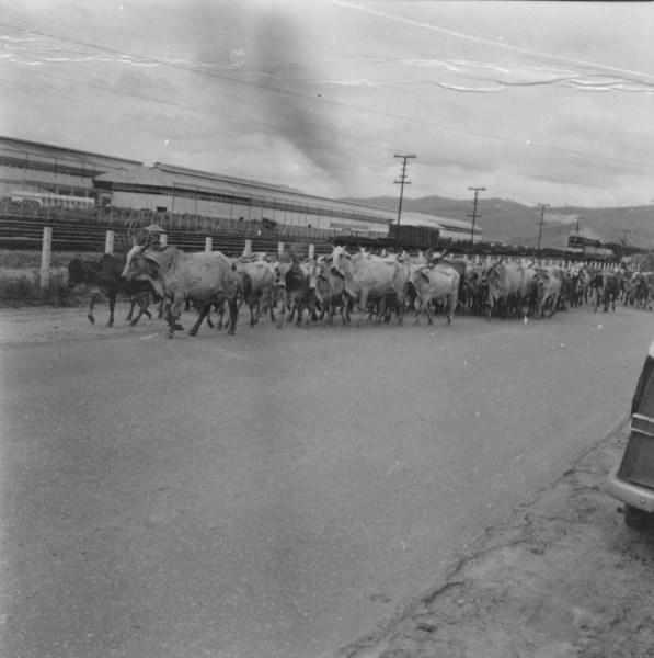 Boiada na estrada, vendo-se ao fundo vagões da Usina USIMINAS - M.Ipatinga (MG) - 1967