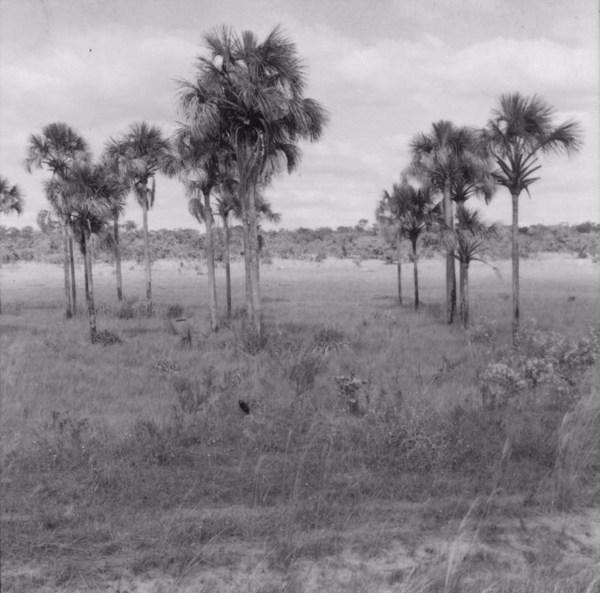 Veredas com buritizal entre as cidades Frutal e Prata (MG) - 1968