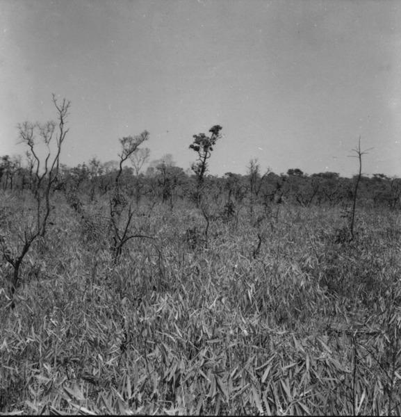 Savana artificial formada de cerradão devastado, com vegetação inferior de taquara. Local a 175 Km. ao norte da ponte sobre o rio dos Patos, no caminho para o Porto dos Gaúchos (MT) - 1968