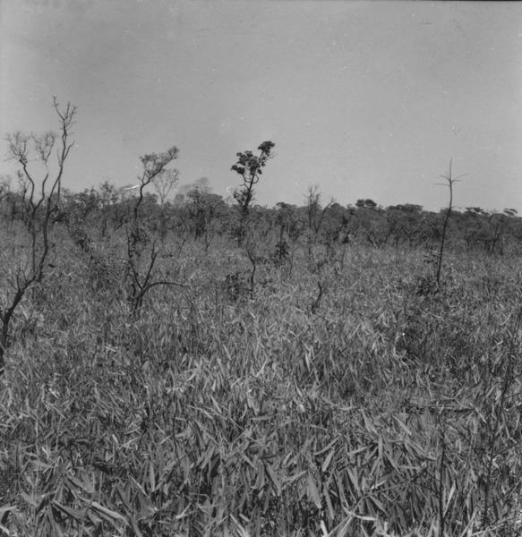 Savana artificial formada de cerradão devastado, com vegetação inferior de taquara. Local a 175 Km. ao norte da ponte sobre o rio dos Patos no caminho para o Porto dos Gaúchos (MT) - 1968