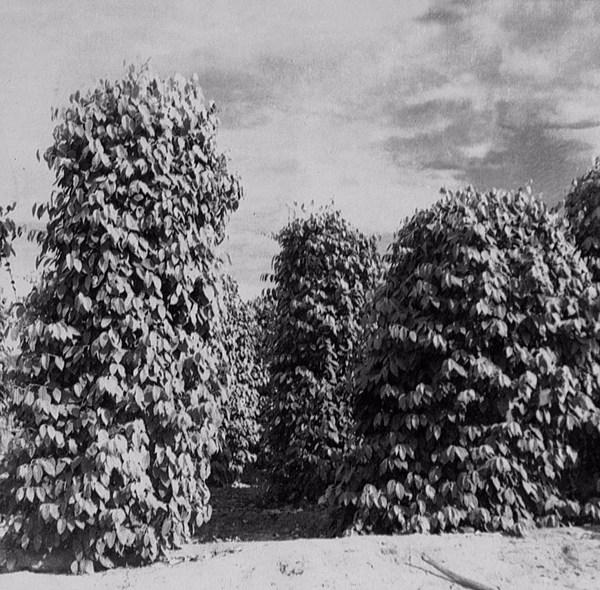 Pimenta do reino em estacas na Colônia Agrícola Tomé-Açu (PA) - 1955