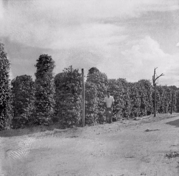Pimenta do reino em estacas na colônia Agrícola Tomé - Açu (PA) - 1955