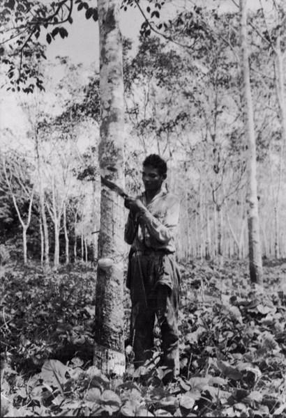 Seringueiros cortando senrigueiras novas em Belterra (PA) - [195-?]