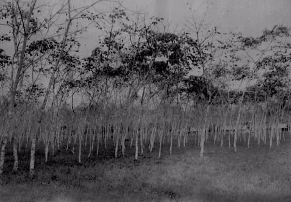 Seringueiras novas plantadas em Belterra (PA) - déc.50