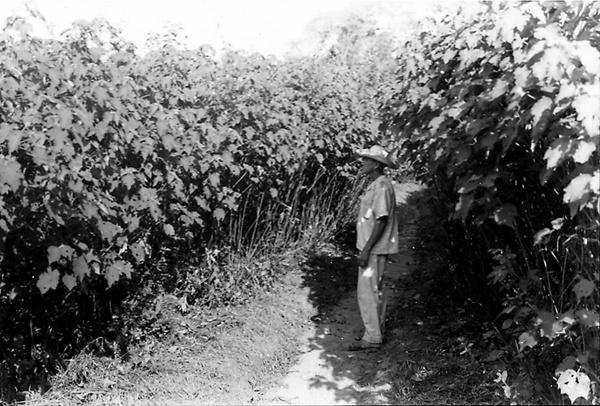 Plantação de malva em Castanhal (PA) - jun. 1953