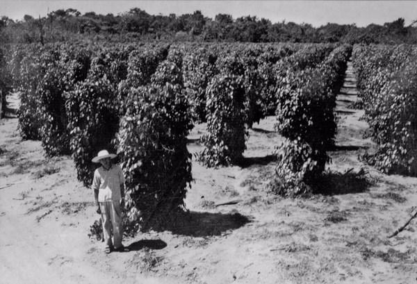 Plantação de pimenta do reino, colono japonês em Castanhal (PA) - 1953