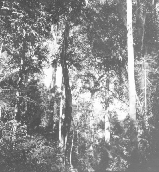 Castanheiras na margem da estrada Óbidos - Alenquer (PA) - maio. 1966