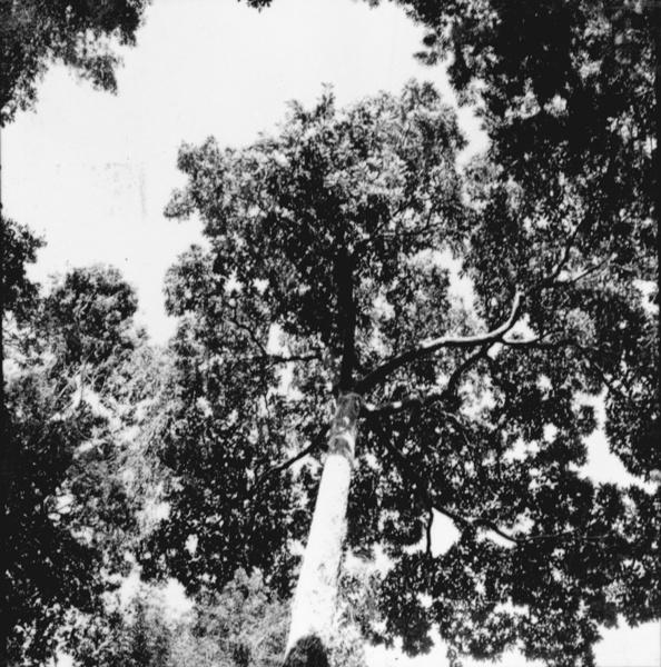 Castanheiras em Alenquer (PA) - maio. 1966