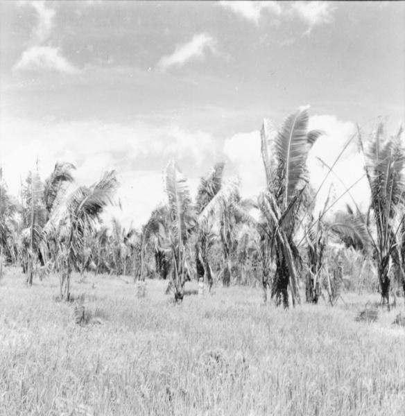 Plantação de arroz e babaçu na estrada que liga Santarém a Moju (PA) - maio. 1966
