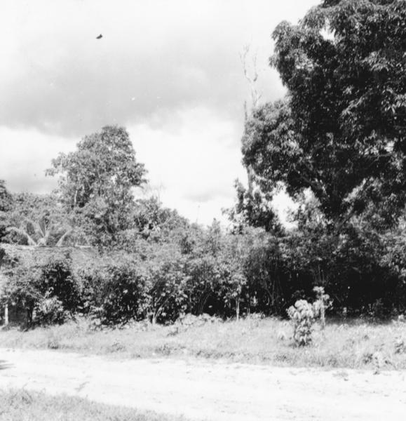 Cafezal na estrada que liga Santarém a Moju (PA) - maio. 1966