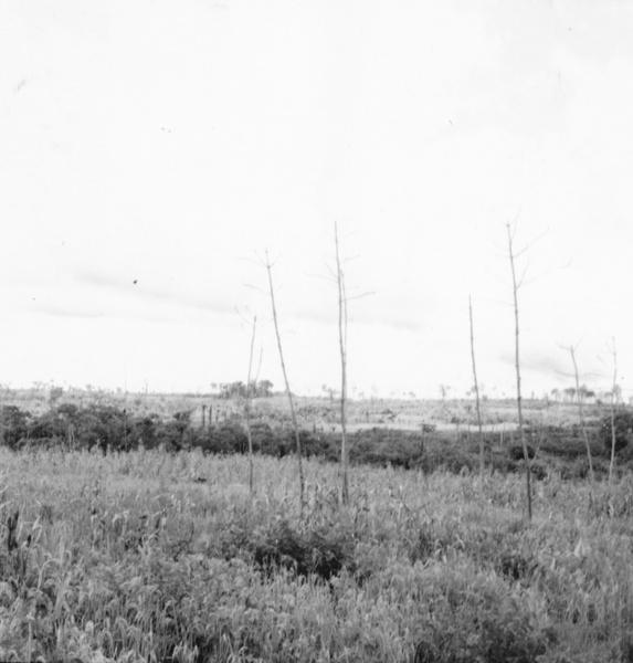 Arrozal em Moju (PA) - maio. 1966