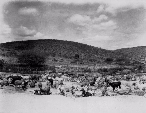 Gado no Planalto de Borborema em Monteiro (PB) - 1952