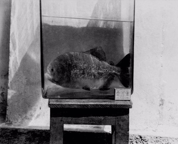 Piranha em Sousa (PB) - ago. 1952